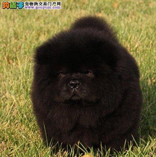 CKU京义犬业高品质冠赛松狮宝宝 纯种三年质保协议