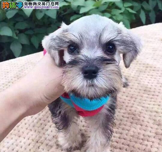 北京CKU认证犬舍出售高品质雪纳瑞保证冠军级血统