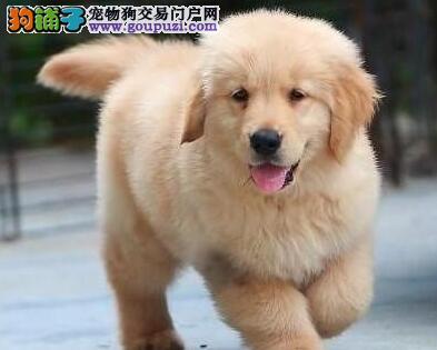 专业繁殖血统纯正济南金毛犬出售中可见父母包养活
