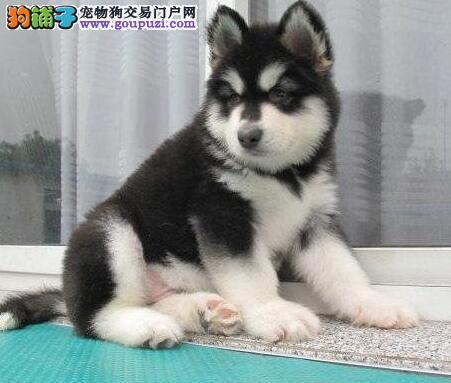 犬舍热卖熊版赛级血统成都阿拉斯加雪橇犬
