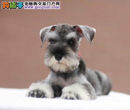 武汉世纪犬业出售纯种可爱雪纳瑞幼犬 白黑椒盐色均有