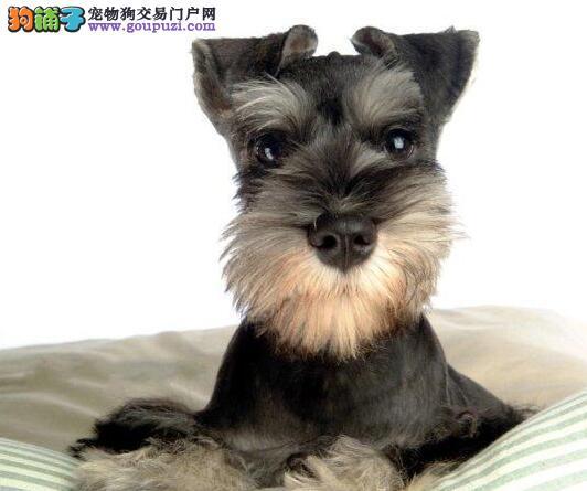 自家繁殖的桂林雪纳瑞幼犬找新主人 签协议包健康