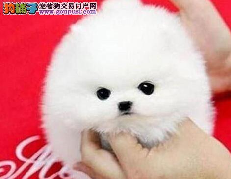 雪白色没有杂毛博美幼犬烟台等你带回家 可上门看狗狗