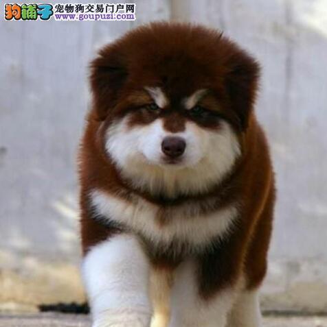 犬舍出售济南阿拉斯加雪橇犬 购买可签订活体