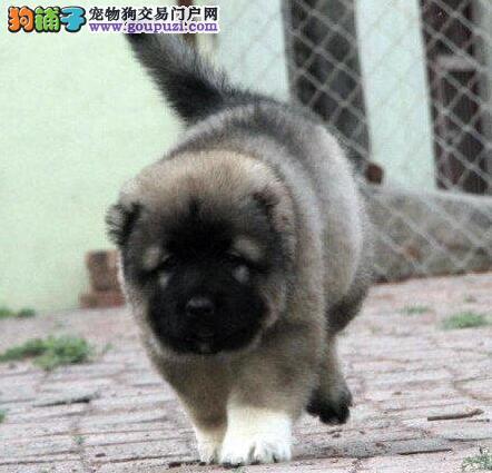 多只邯郸纯种高加索犬直销出售 公母都有欢迎选购
