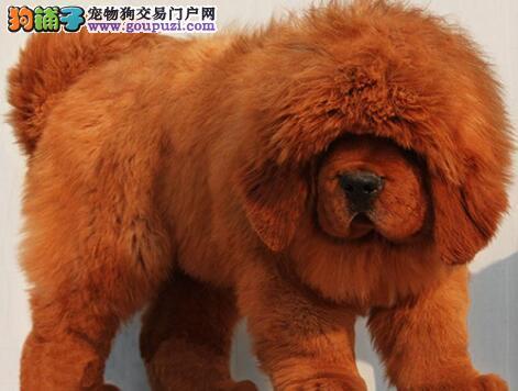 赛级藏獒幼犬、三针齐全保健康、签订正规合同