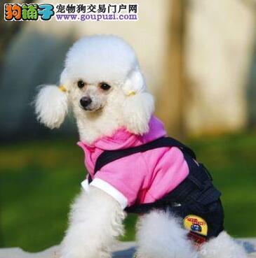 品相好血统纯的吉林贵宾犬 爱狗人士可上门选购爱犬