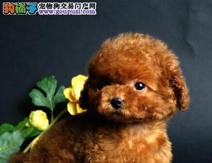 超漂亮可爱的韩系昆民贵宾犬出售 欢迎大家上门选购