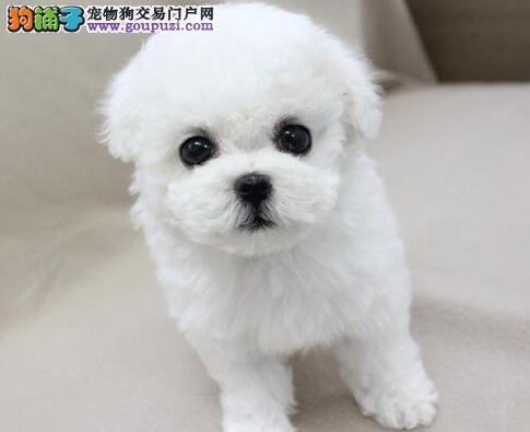 双血统的南京比熊犬找爸爸妈妈 喜欢的朋友不要错过