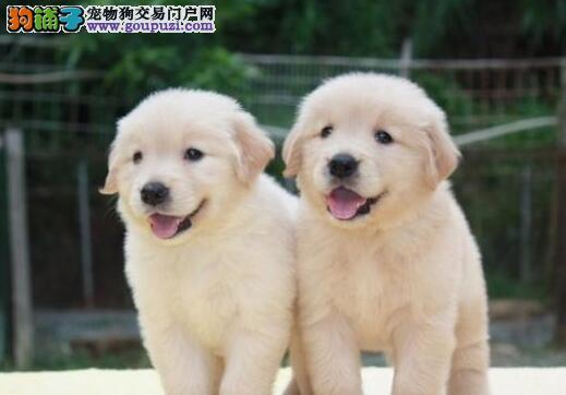 乌鲁木齐专业繁殖出售纯种金毛幼犬 保证健康欢迎选购
