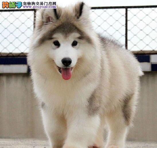 熊版十字脸的阿拉斯加犬找新主人啦 大连市内可送货