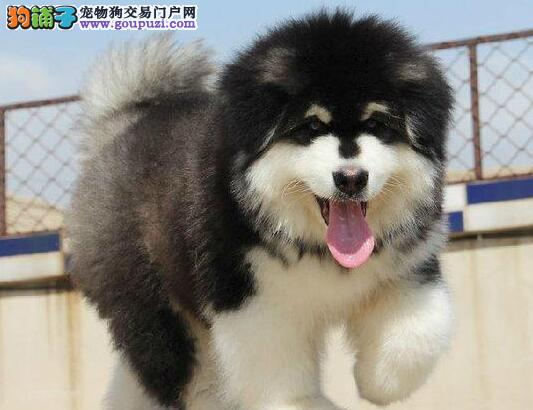 热销优秀双十字广州阿拉斯加雪橇犬 冠军级血系品相高