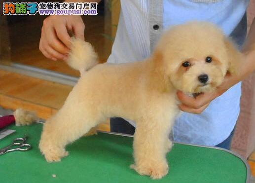 纯种韩系温州泰迪犬犬舍直销 喜欢的千万不要错过