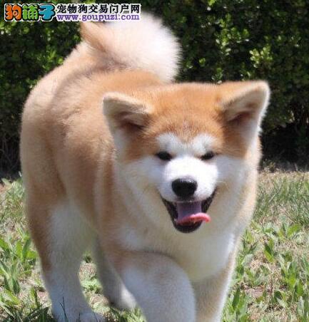 双鸭山出售秋田犬公母都有品质一流三针疫苗齐全
