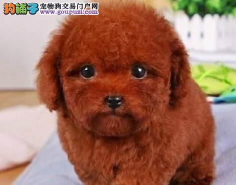 纯种韩系鞍山泰迪犬犬舍直销 喜欢的千万不要错过