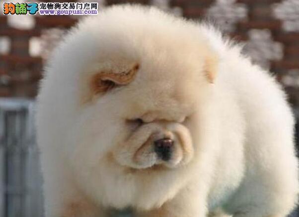 湖州专卖店促销紫舌大厚毛松狮犬驱虫已做有健康证
