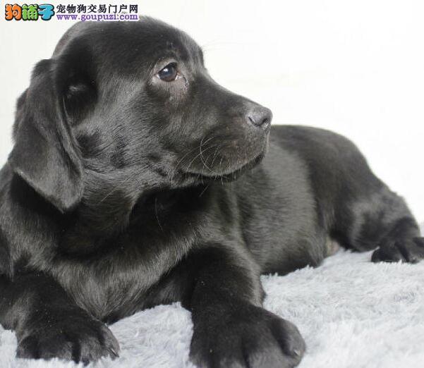 出售身体健康高品质的拉布拉多犬 鞍山市内送狗到家