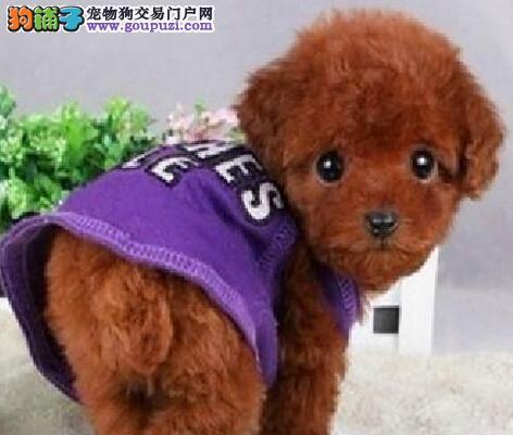 直销顶级贵宾犬 北京周边城市的客户可来养殖场挑选