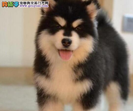 重庆哪里出售阿拉斯加幼犬/阿拉斯加多少钱一只