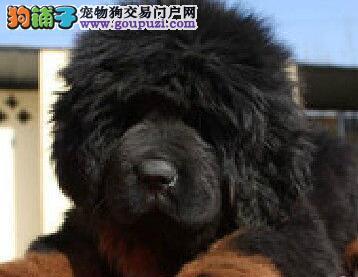 优秀狮王血系上海藏獒低价转让 颜色多可享受多重优惠