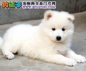 极品微笑天使萨摩耶特价出售 上海本地有实体犬舍
