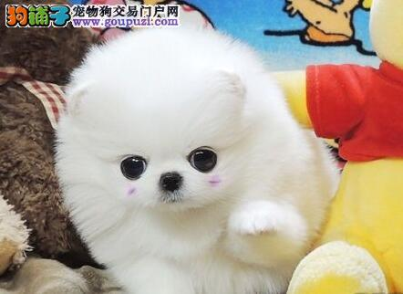 CKU犬舍认证景德镇出售纯种博美犬微信视频看狗