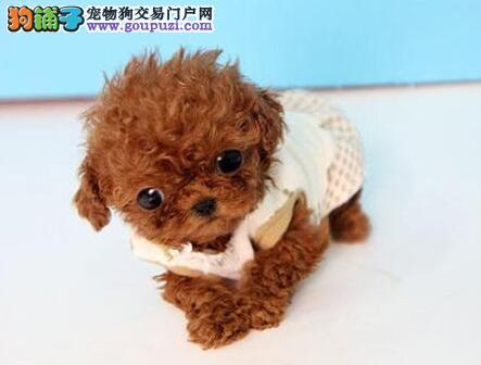 实体狗场热销上海泰迪犬 国外引进纯种血统质量优惠
