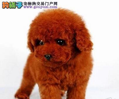 长沙热卖泰迪犬多只挑选视频看狗包养活包退换