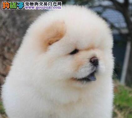 深圳纯种大头肉嘴松狮幼犬出售公母都有品质健康可保证