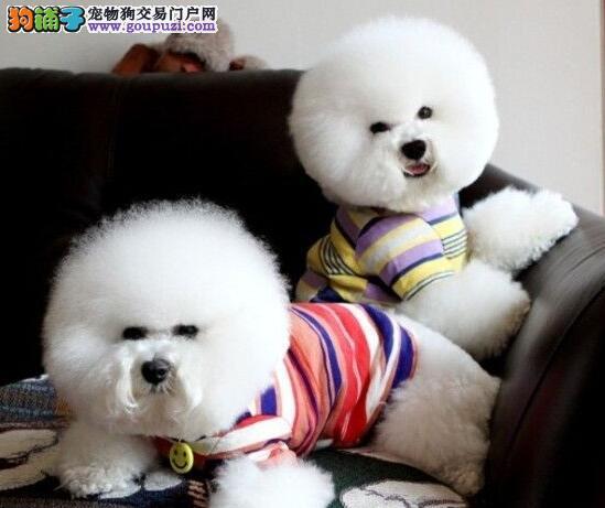 极品优秀卷毛比熊犬直销 上海附近城市建议当面购买