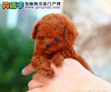 转让超高气质的台州斗牛犬 贵族身份象征请您放心选购