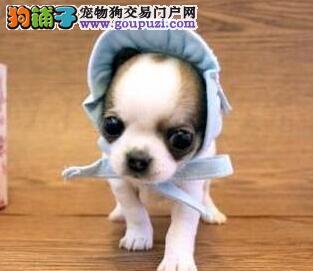 出售纯种健康的吉娃娃犬 深圳宠物狗 吉娃娃犬好不好养