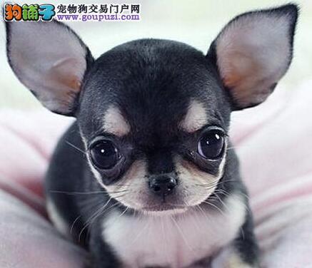 吉娃娃犬 专业繁殖可看狗父母用品相送