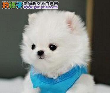 郑州自家犬业低价出售哈多利版博美犬 血统纯有证书