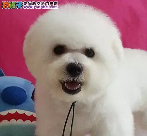 热销纯种粉扑型比熊犬 欢迎来郑州狗场实地考察购买