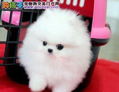 黄色小体型的大庆博美犬找新主人 保证品质和售后