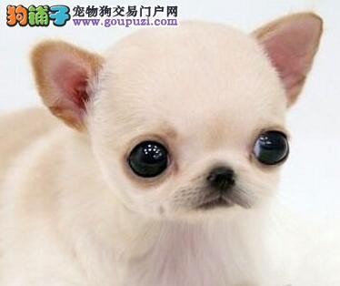 出售精品纯种苹果头吉娃娃 郑州市内可送上门邮费全免