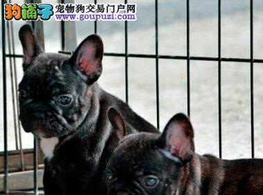 精品纯种杭州法国斗牛犬出售质量三包专业繁殖中心值得信赖