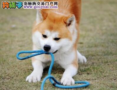 秋田犬最大的正规犬舍完美售后喜欢加微信可签署协议