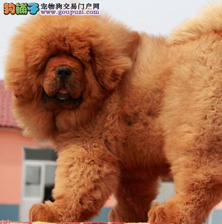 武汉大型狗场促销纯种原生态藏獒 颜色多品种全