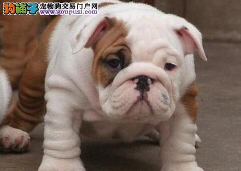 温州狗场出售实物拍摄的斗牛犬 高气质高品质低价位