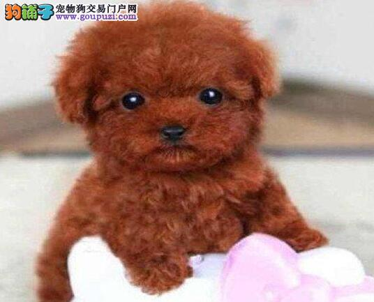 出售家养纯种包头泰迪犬 苹果脸纽扣眼完美品相