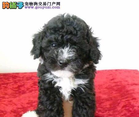 深圳哪有泰迪犬卖深圳泰迪多少钱一只