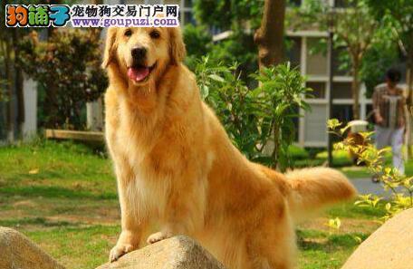 自家繁殖头脸好骨骼粗的金毛幼犬出售