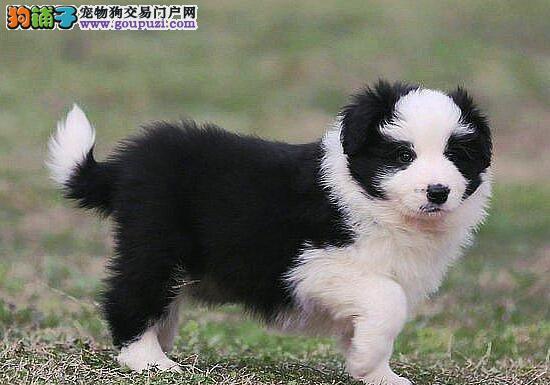 北京出售边境牧羊犬颜色齐全公母都有可签订活体销售协议