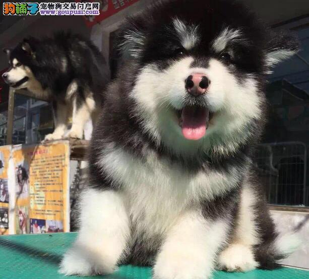 遵义繁殖基地出售多种颜色的阿拉斯加犬优质服务终身售后