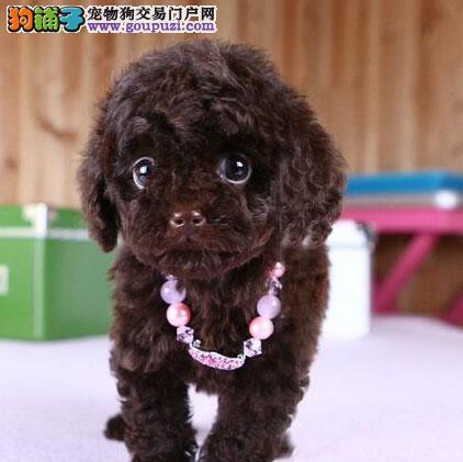 热销精品韩系广州泰迪犬 有问题可免费赔偿或更换
