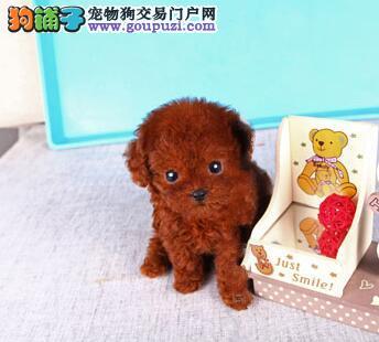 重庆犬舍低价热销 贵宾犬血统纯正终身质保终身护养指导