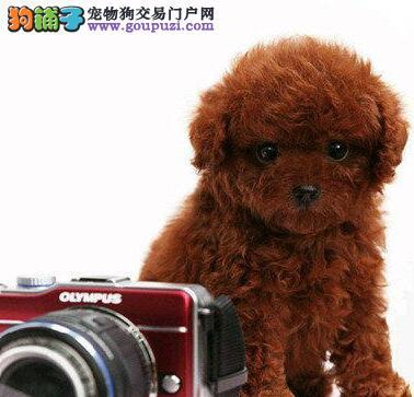 出售重庆贵宾犬专业缔造完美品质质保三年支持送货上门