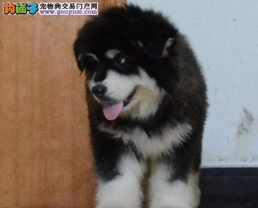 出售精品阿拉斯加犬,CKU认证保健康,提供养护指导